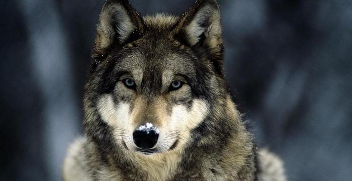 Preferes ser Lobo ou Ovelha?